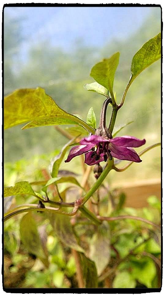 FIalový kvet v plnej kráse