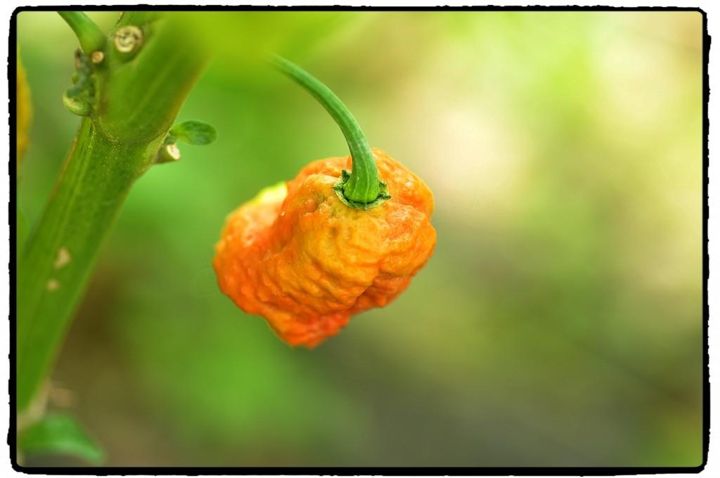 Dozrievajúci plod Brown bhutlah